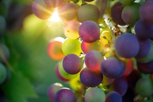 grapes for wine production